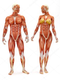 depositphotos_14002502-stock-photo-male-and-female-musculoskeletal-system.jpg
